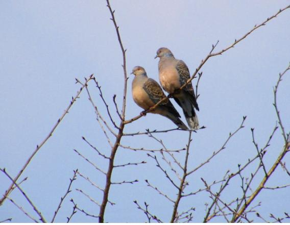 pigeon0.jpg