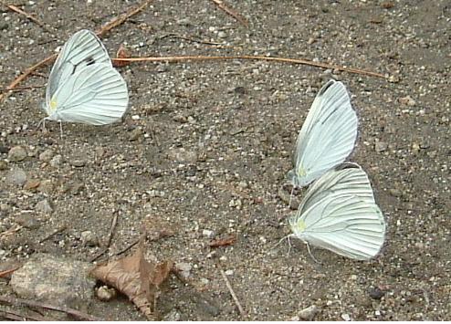 나비0.jpg