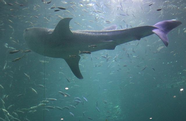 whaleshark.jpg