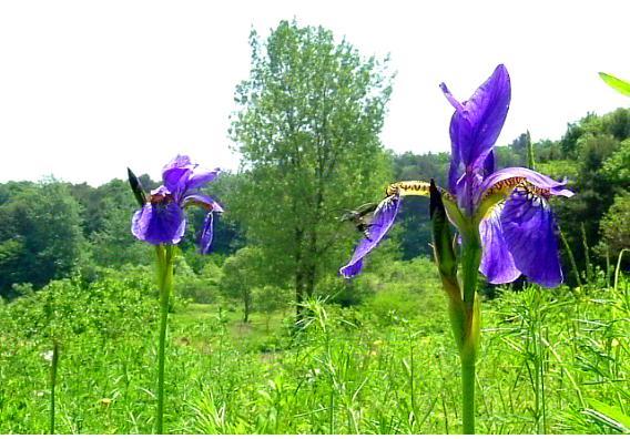 꽃하늘소5.jpg