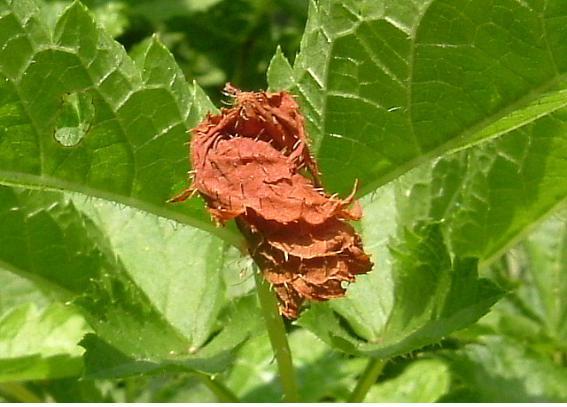 잎벌레2.jpg