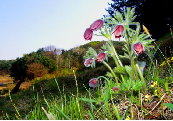 할미꽃2.jpg
