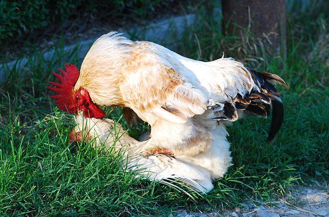 Andrei Stroe_640px-RO_BZ_Berca_Chicken_copulation.jpg