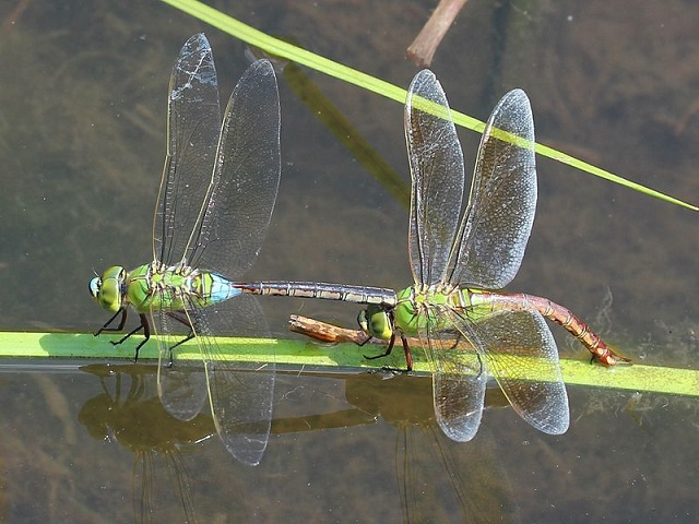 800px-Anax_parthenope_male_and_female.jpg