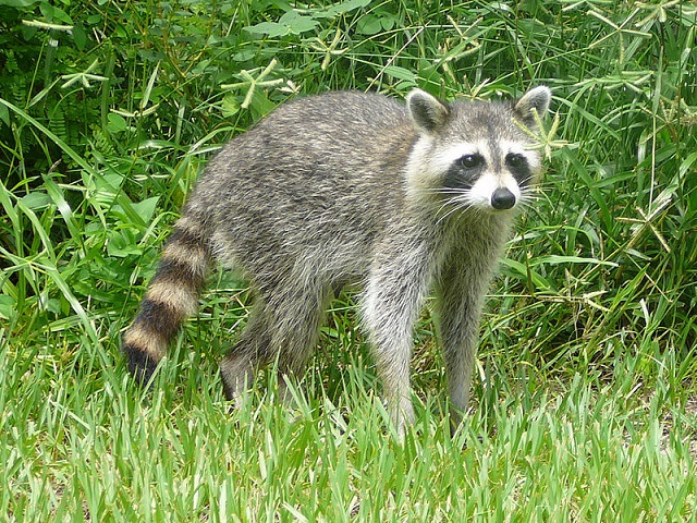 Bastique _800px-Procyon_lotor_(Common_raccoon).jpg
