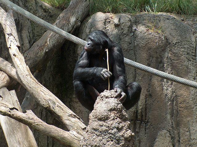 sandiago zoo_640px-BonoboFishing04.jpg