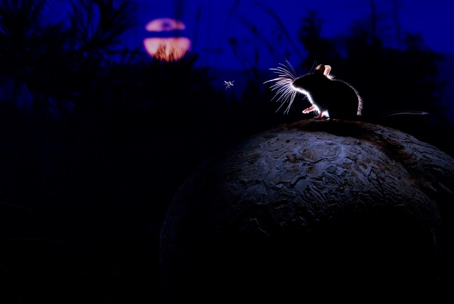 wp10_The mouse, the moon and the mosquito by Alex Badyaev (Russia_USA).jpg