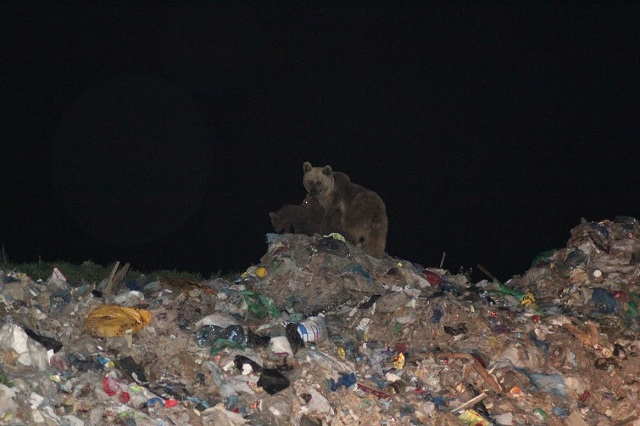 6_Bear-at-Garbage-Dump_2_CS (1).jpg
