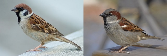 1280px-Tree_Sparrow_Japan_Flip-2.jpg