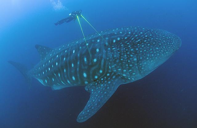 © Jonathan Green_Galapagos Whale Shark Project.jpg