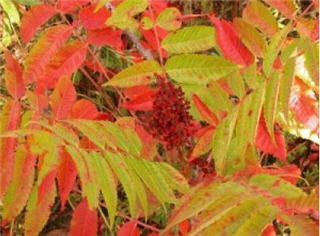 michauxs_sumac_shrub_Lytton J Musselman Old Dominion University.jpg