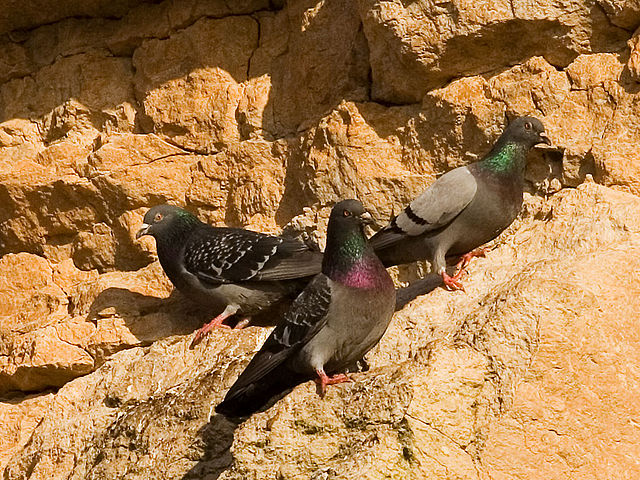 640px-Rock_pigeons_on_cliffs.jpg