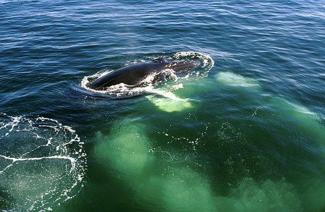 NOAA_640px-Humpback-whale-bubblenet.jpg