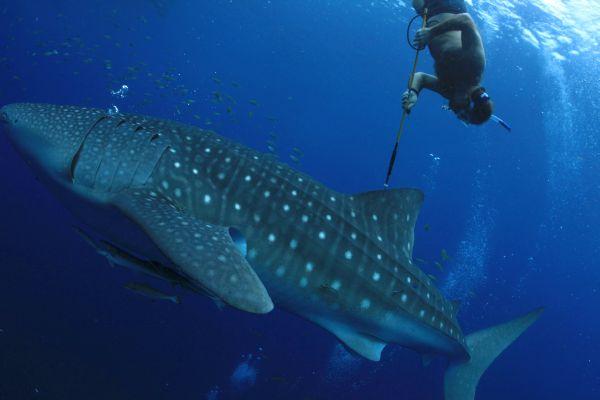 Mark Erdmann_brent-stewart-tagging-whale-shark.jpg
