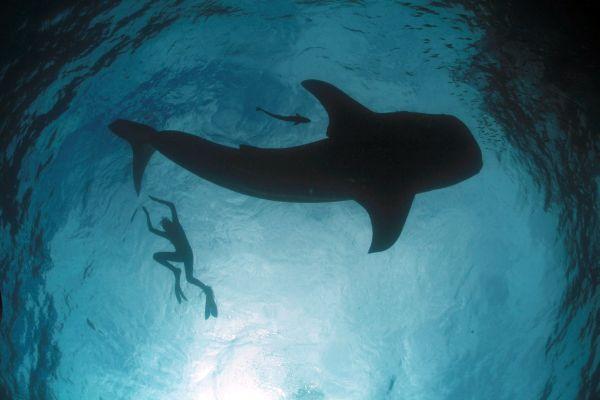 Mark Erdmann_whale-shark-silhouette-with-diver.jpg
