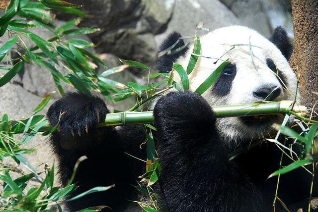 Fernando Revilla _1024px-Giant_Panda_Tai_Shan.jpg