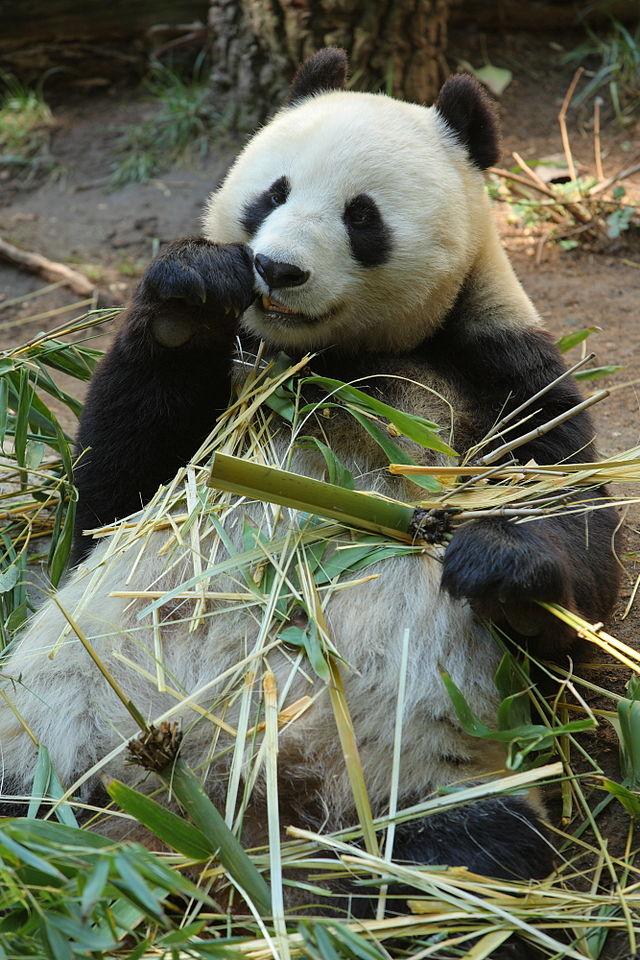 Matthew Field_640px-Bai_yun_giant_panda.jpg