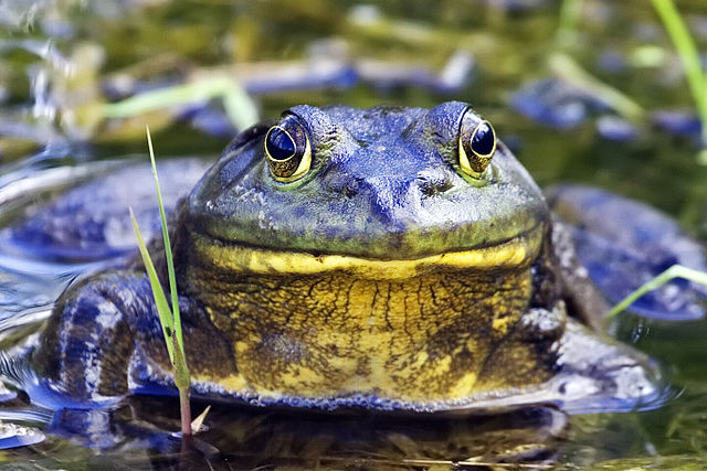 640px-Bullfrog_-_natures_pics.jpg