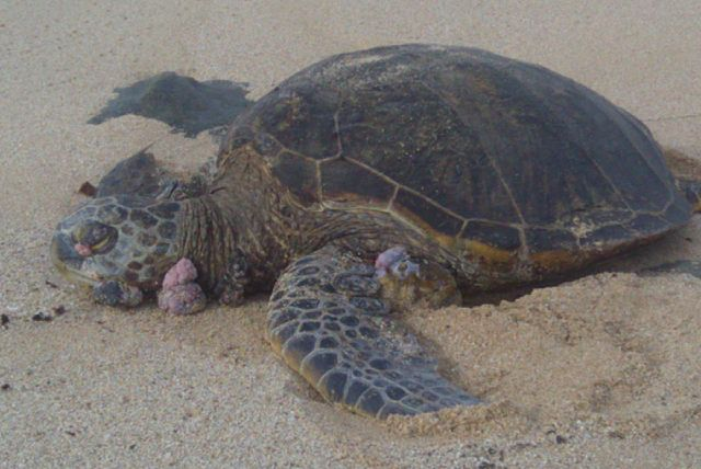 Andrew Danielson_640px-Green_turtle_with_fibropapillomatosis.jpg