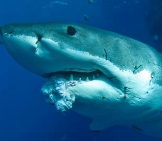 Andrew Fox and Sam Cahir_great-white-shark-tumor.jpg