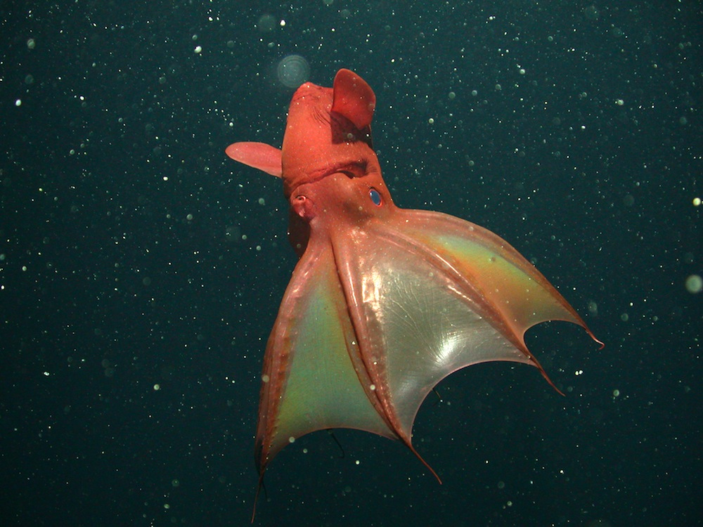 vampire-squid-black-121002.jpg