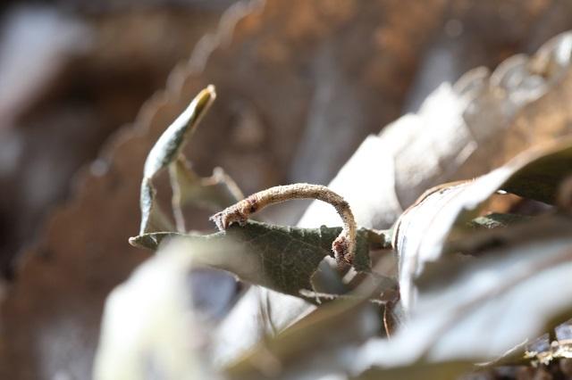 두줄푸른자나방 애벌레-s.jpg