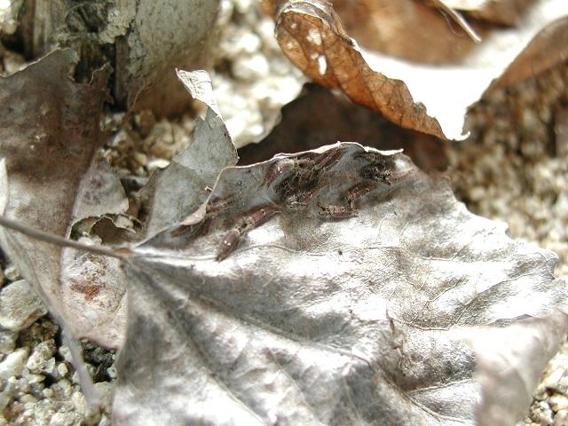 수노랑나비 애벌레s.jpg