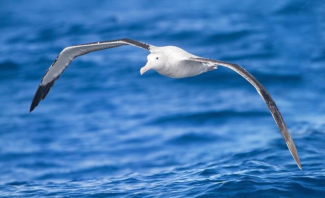 JJ Harrison_Diomedea_exulans_in_flight_-_SE_Tasmania.jpg