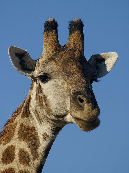 449px-Giraffa_camelopardalis_angolensis_(head).jpg