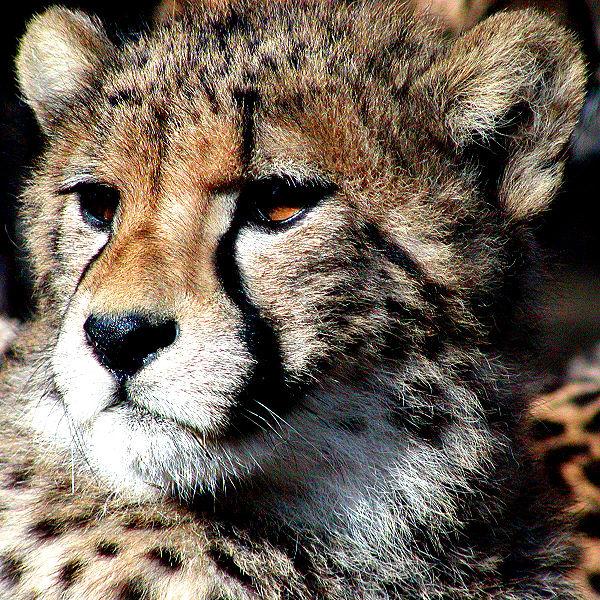 600px-Cheetah.jpg