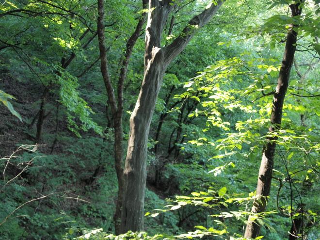 서어나무_오래된 천연 활엽수림의 대표적인 수종으로 광릉의 소리봉과 죽엽산에서 많이 볼 수 있다.jpg