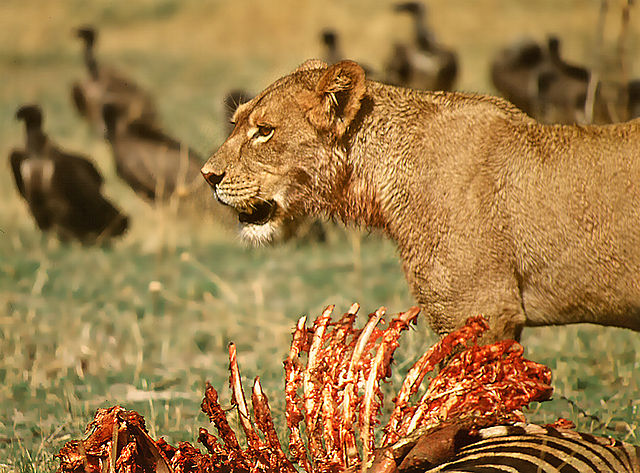 Hein waschefort_640px-Lioness_at_kill.jpg