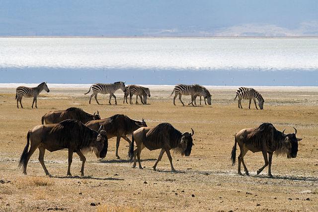 Stig Nygaard_640px-Wildebeests_walking.jpg