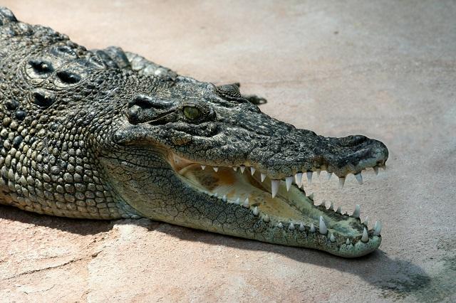 cr1_AngMoKio-Crocodile_Crocodylus-porosus_amk2_without_Spot.jpg