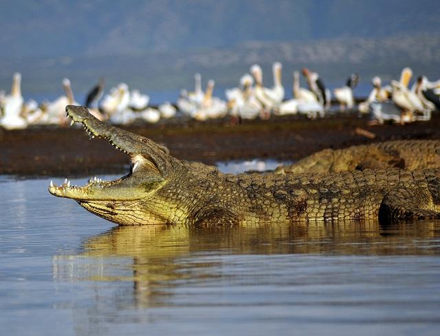 cr2_Gianfranco Gori -NileCrocodile--Etiopia-Omo-River-Valley-01.jpg