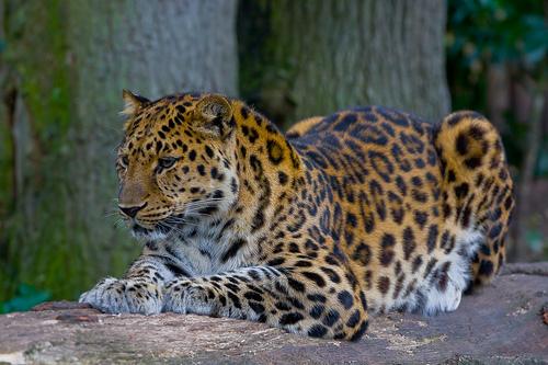 사본 -Amur_Leopard_(P.p._amurensis).jpg