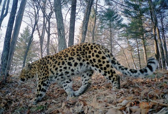 male-leopard-120410.jpg
