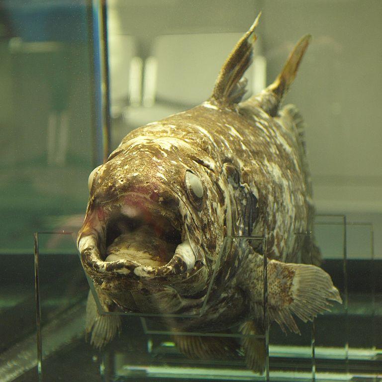 Indonesian coelacanth_opencage_768px-Latimeria_menadoensis.jpg