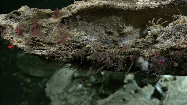 The small white anemones_newly describes species_ and also other animals characteristic of whale falls_ including the bone-eating zombie worm_ called Osedax_ frilly red plumes on bone_and scavenging crabs_mbari.jpg