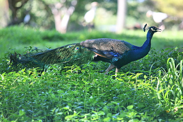 640px-Indian_Peafowl_(Pavo_cristatus)_(2855058812).jpg