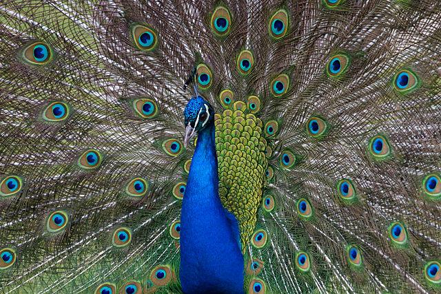 Tony Hisgett_640px-Peacock_(6964635758).jpg