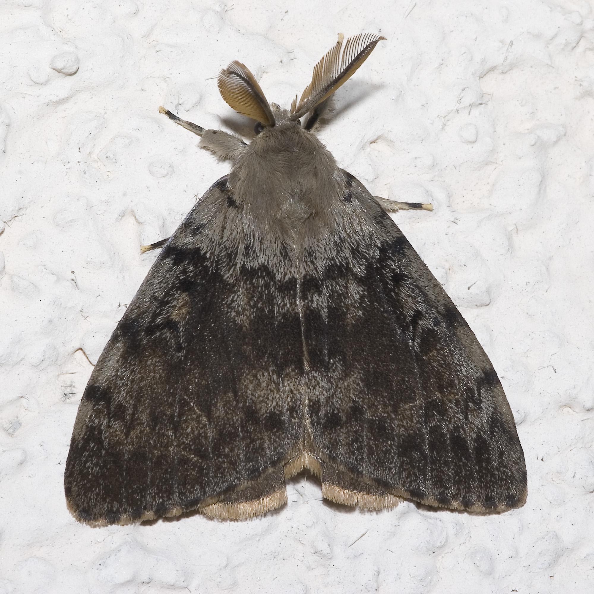 gypsy moth_wikicommons.jpg