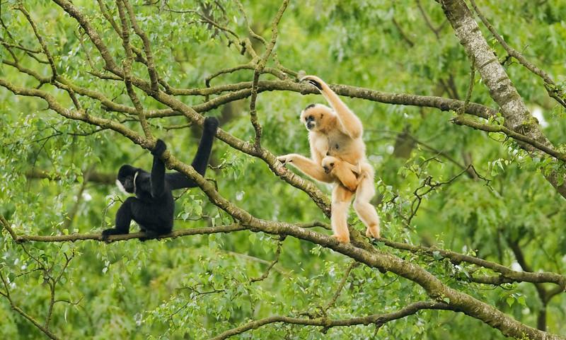 gibbons2.jpg