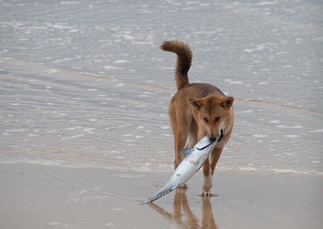 640px-The_Dingo_Finds_a_Dead_Fish.jpg