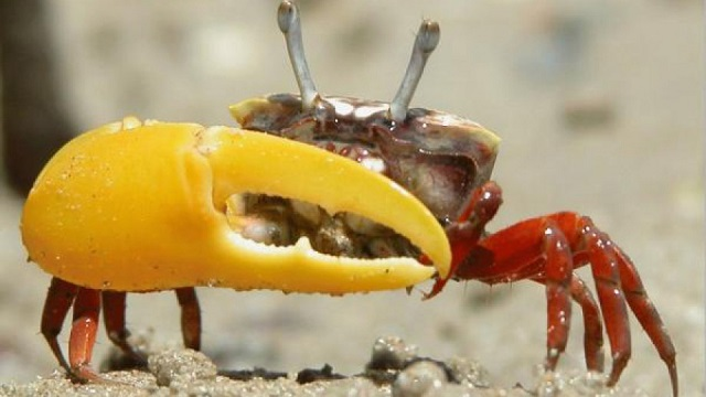 2Fiddler crab 1_cropped_0.jpg