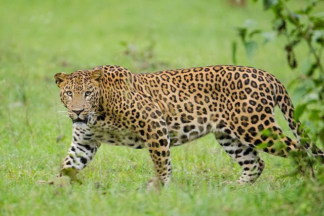 Srikaanth Sekar_Nagarhole_Kabini_Karnataka_India,_Leopard_September_2013.jpg