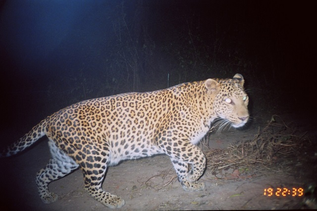 leopards-india_s.jpg