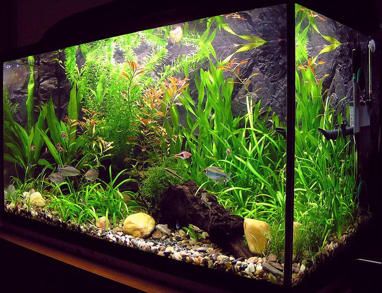 781px-Amaterske_akvarium.jpg