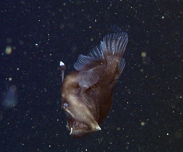 ak2_anglerfish-deep-sea.jpg