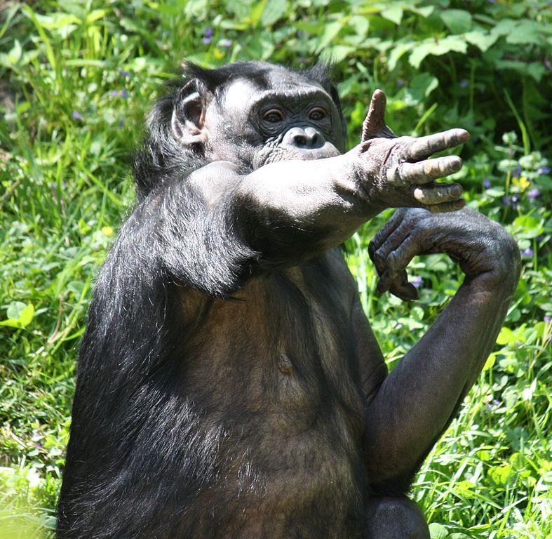 787px-Bonobo5_CincinnatiZoo.jpg